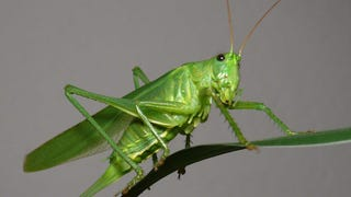 I just took a grashopper out of my kitchen window.....