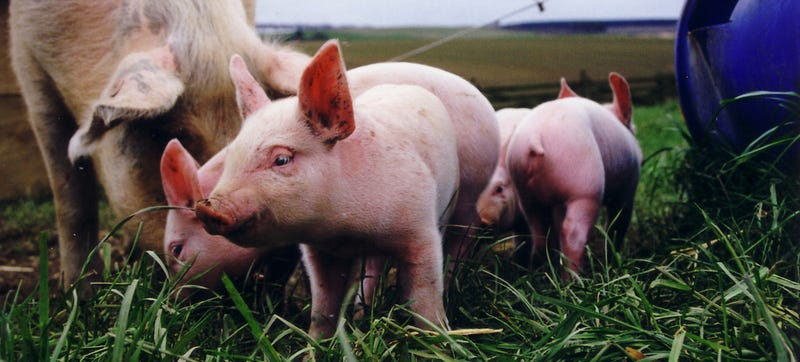 The Science of Building the Perfect Pig