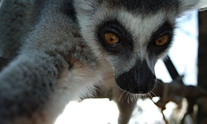 Lemur Takes An Awesome Selfie
