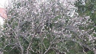 Február 27-én virágzik a cseresznye? megírom!