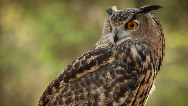 How do owls twist their heads all the way around without dying? At last we know.