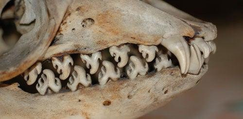 Pinnipednesday - Lobodon carcinophagus Edition