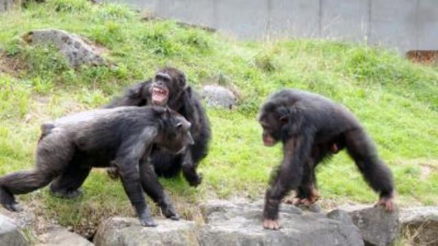 Chimpanzees have their very own police force
