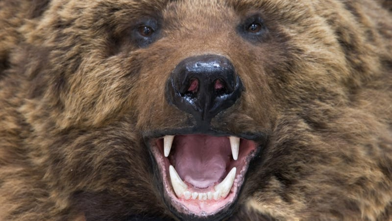 Man Attacked by Lion, Rescued by Bear!