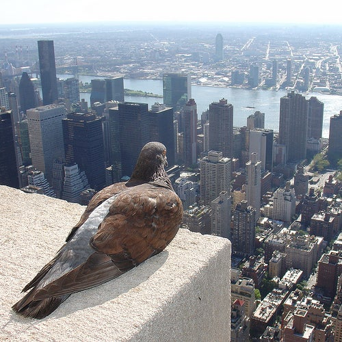 Scientists Read Pigeons' Brains For The Secrets Of Their Navigation