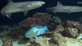 Video: Terrified fish hides as a gang of sharks hunt right on top of it