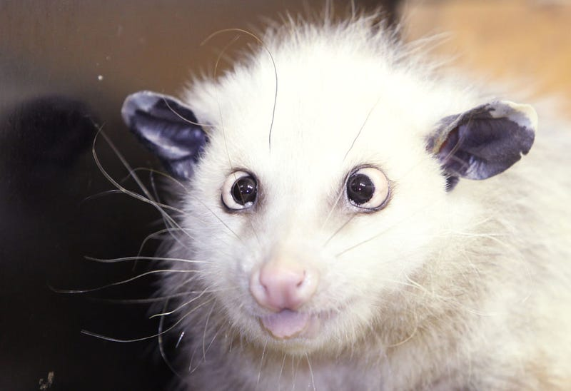 Cross-Eyed Opossum May Perform at Oscars