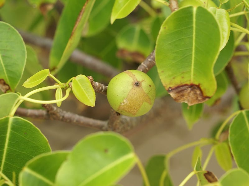 ​This tree causes instant blisters, blindness and death