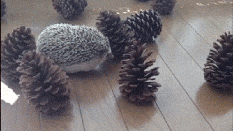 This Poor Hedgehog Just Wants to Play with His Pine Cone Friends