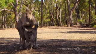 Wait Till You See This Kangaroo's Dick