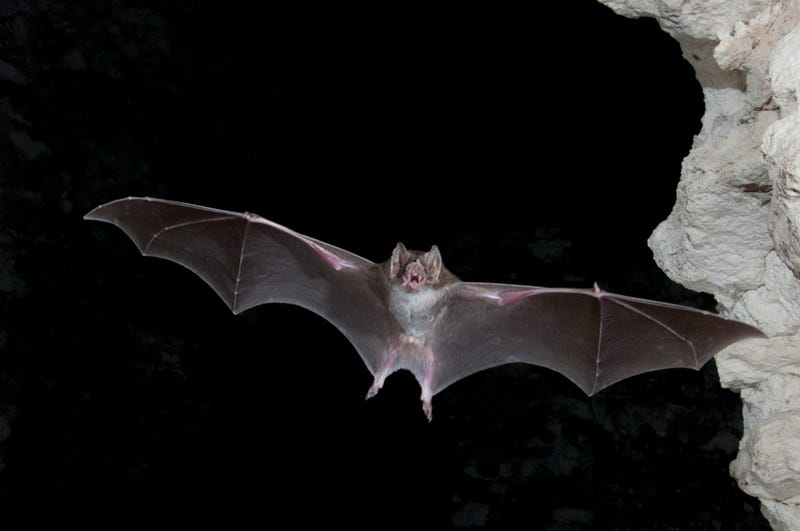 Why Are Bats So Good at Spreading Disease?