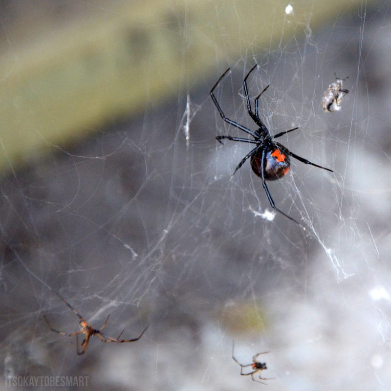 A black widow story that'll make you shake out your sheets tonight