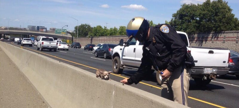 California Cops Save Tiny Adorable Chihuahua From Certain Highway Doom