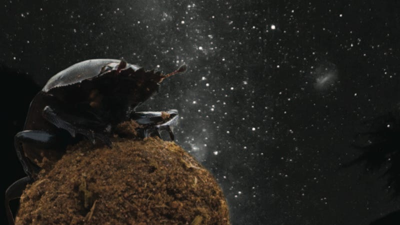 Dung Beetles Use the Milky Way for Navigation