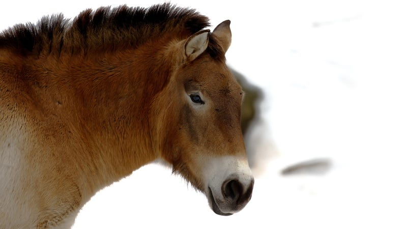 Scientists Sequence the Oldest Ever Genome--of a 700,000-Year-Old Horse