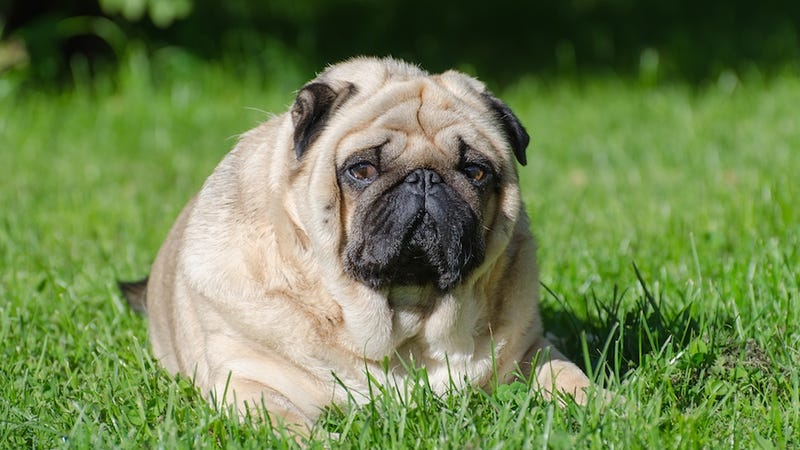 There Are Now Fat Farms for Obese Dogs