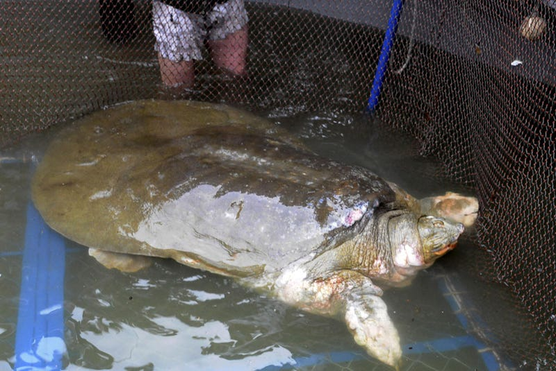It took a few dozen people, including Special Forces soldiers, to capture this sacred giant turtle