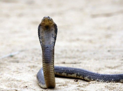 Escaped Cobras Terrorize Toilets In Southwest China