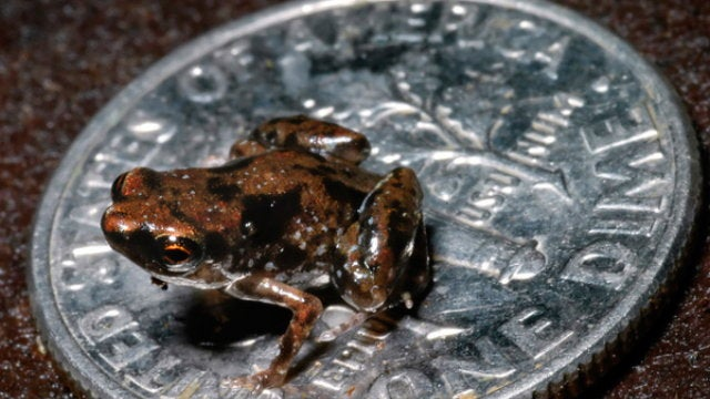 Say Hello to My Little Friend—the World's Smallest Vertebrate