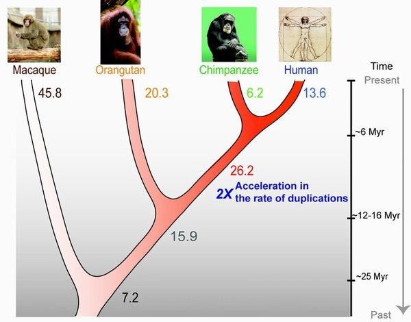 A New Explanation for the Way Humans Evolved from Apes