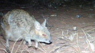 "Camera-Traps Detect ""Extinct"" Wallabies In Western Australia"