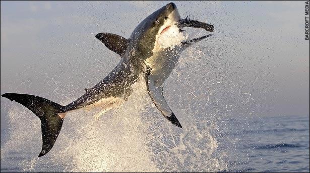 Anti-Shark Device Eaten by Irony-Loving Great White