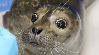 Blind Harbor Seal Pup Learning to Adapt