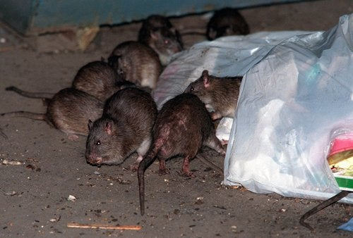 Q: What Will Happen to the NYC Subway Rats? A: They Will Run The City Like Kings