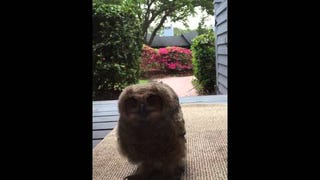 Angry Young Owl Surprises Some Nice Suburban Housewives