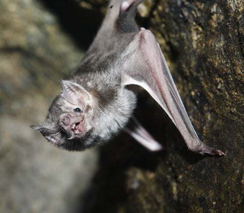 Rabid Vampire Bats Attack 500 In Peruvian Village