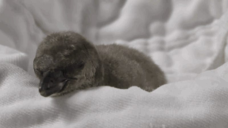 Now I Want to Nuzzle A Baby Penguin
