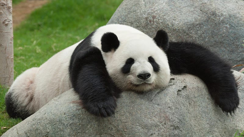 Panda Blood Might Contain a Secret Weapon For Battling Superbugs
