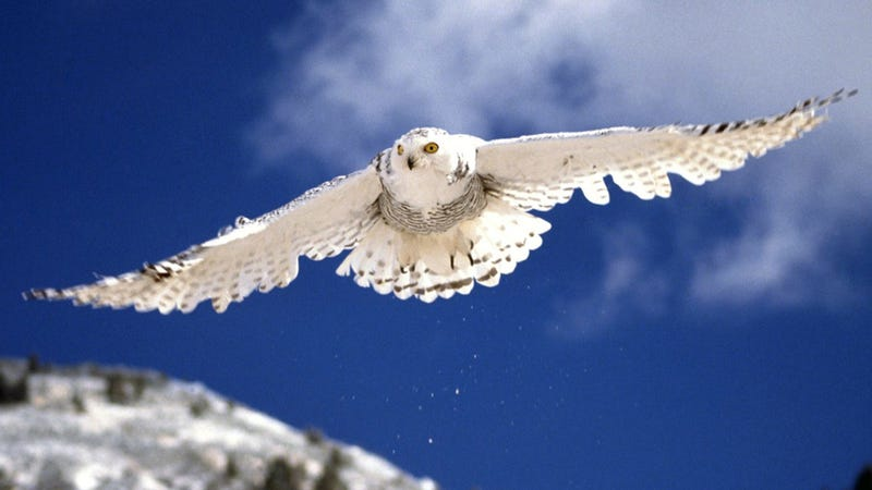 A snowy owl makes the trip from the Arctic to Hawaii, where it is promptly shot