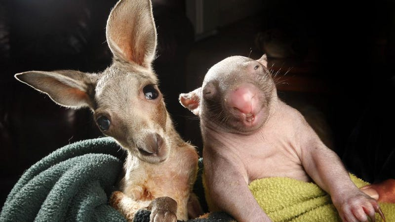 Baby Kangaroo and Baby Wombat Orphans Become BFFs