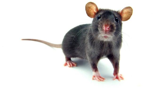 Rat's Wanderlust Grounds Domestic Flight