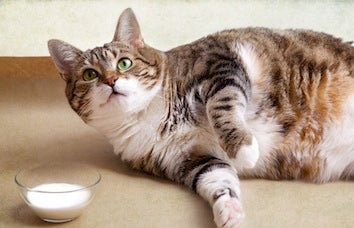 Obesity Epidemic Spreads To Pets & Lab Animals