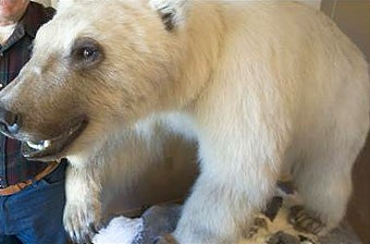 Half-Grizzly, Half-Polar Grolar Bears Are Global Warming's Cutest Outcome