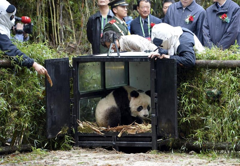 "Chinese panda with special ""survival training"" has been released into the wild"