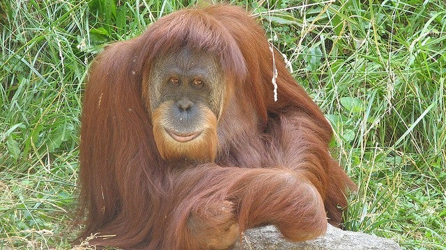 Orangutans hold off puberty by up to 10 years just to be more attractive