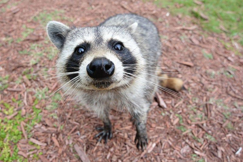 In Defense of Raccoons