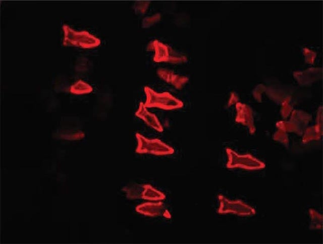 Robotic Microfish Can Sense and Remove Toxins From Their Environment