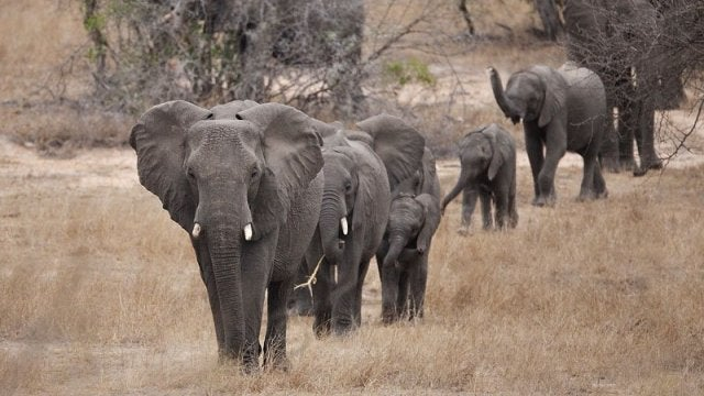 Old female elephants are lion-fighting geniuses
