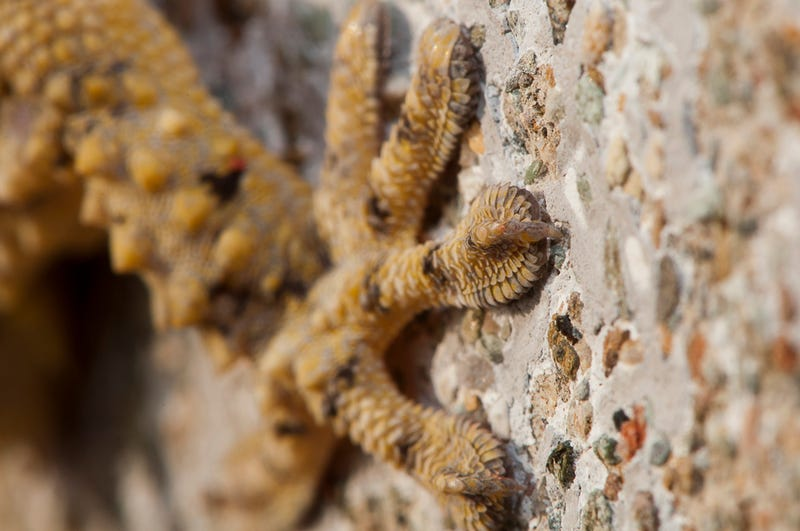 Why an Entire Population of Geckos Is Trapped on One Building