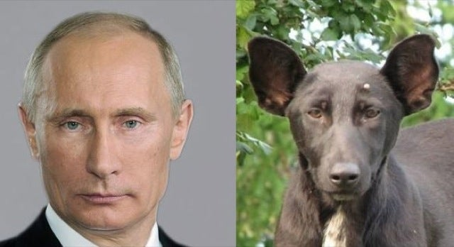 Here's a Dog that Looks Like Vladimir Putin