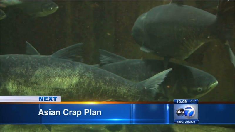 Asian Crap Threatening Chicago, According To ABC Affiliate