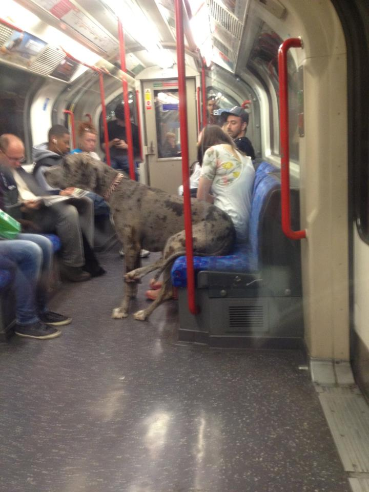 Here's a Great Photo of a Great Dane Riding the Tube Like He's People