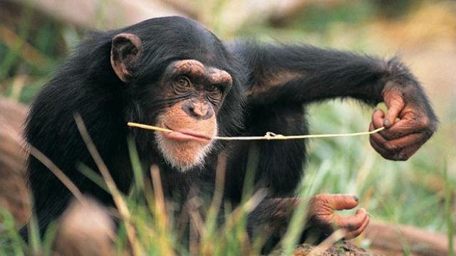 Urinating chimp uses awesomely disgusting strategy to get a snack