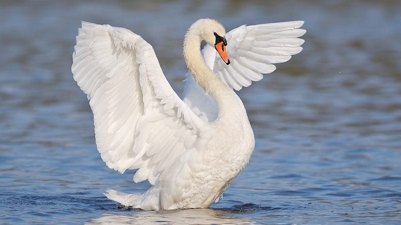 Man drowns after being attacked by swan