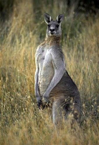 Aroused Kangaroo Harasses Australian Women
