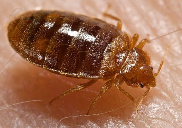 Why Bed Bugs Are Getting Harder to Kill